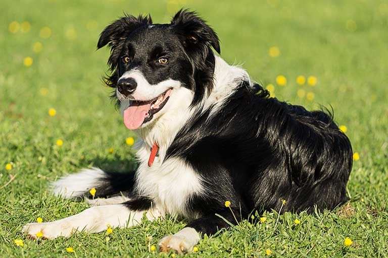 Archie (Border Collie) - About Northampton Dog Walker