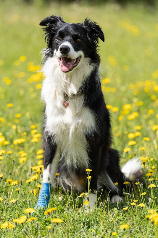 Papilloma Virus in Dogs