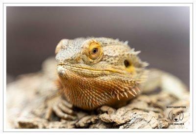 Zuki the Bearded Dragon