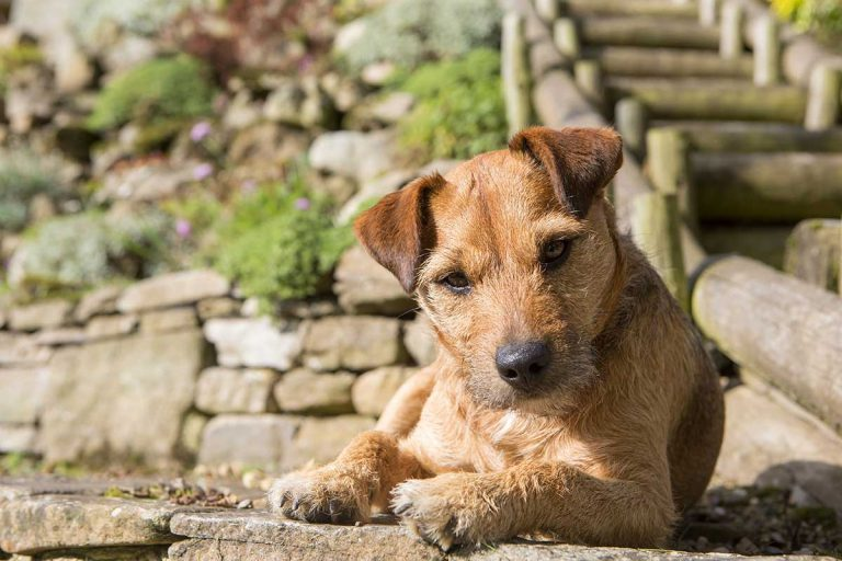 Owning A Patterdale Terrier