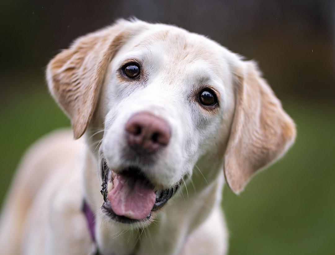 Labrador Martha 2