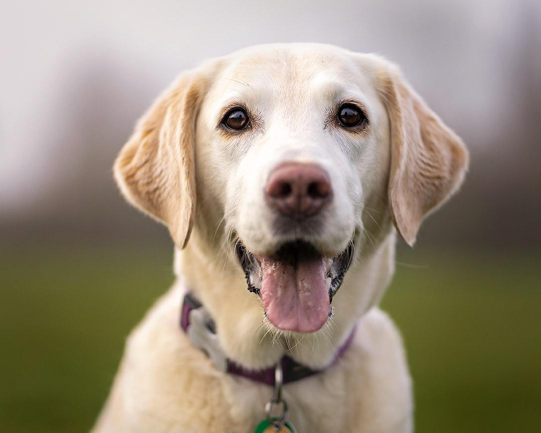 Labrador Martha 1