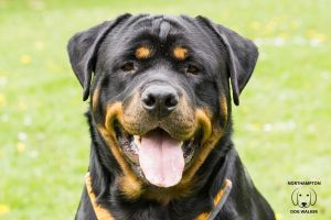 Magnum the Rottweiler
