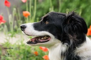 Archie the border collie in poppies