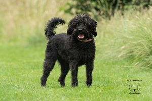 Lily the Schnoodle