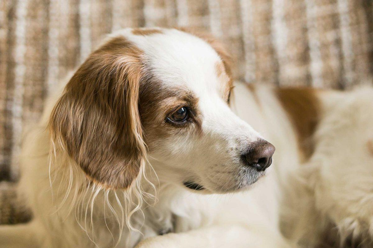 Dog Boarding Service - Thomas on sofa